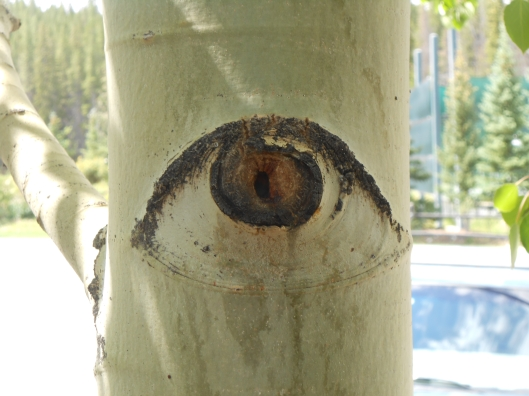 A wide-eyed aspen! I wonder what this tree sees?